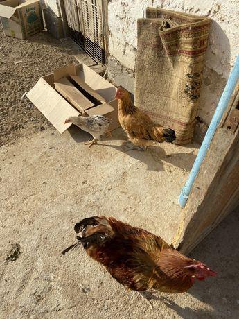 Продаются утки,индоутки,курицы,петухи,цесарки и кролики домашние