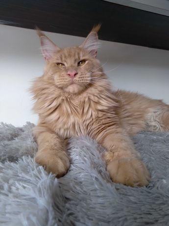 Кот-подросток породы Мейн-кун