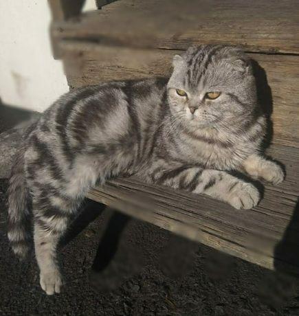 Вязка, котик скотиш фолд