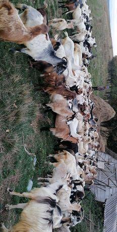 Vând 90 de capre