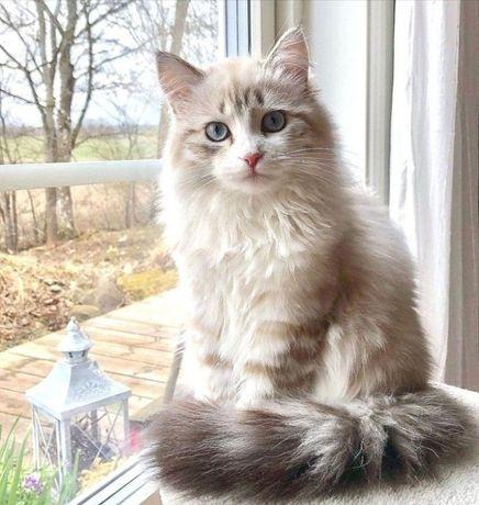 Взрослые коты и кошки в дар. Привитые и стерильные.