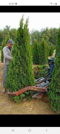 amenajăm grădini plante ornametale tuia smarald spirale mesteceni enup
