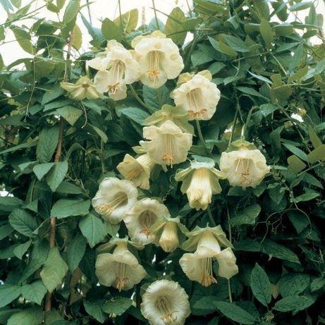 Seminte Planta agatatoare alba cobea