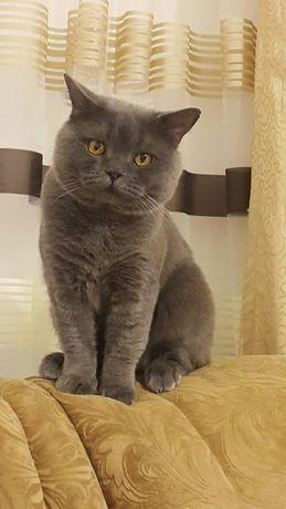 Британский кот.Вязка