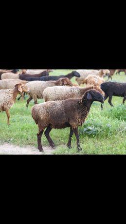 Продам бараны овцы кой оптом