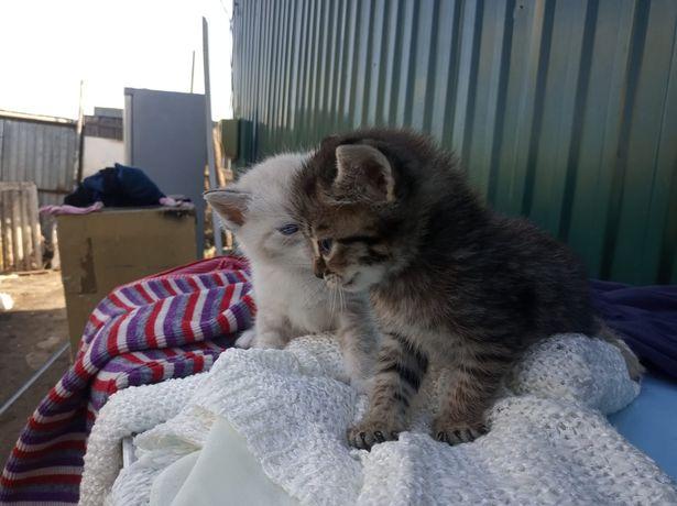 Отдам котят все голубоглазые