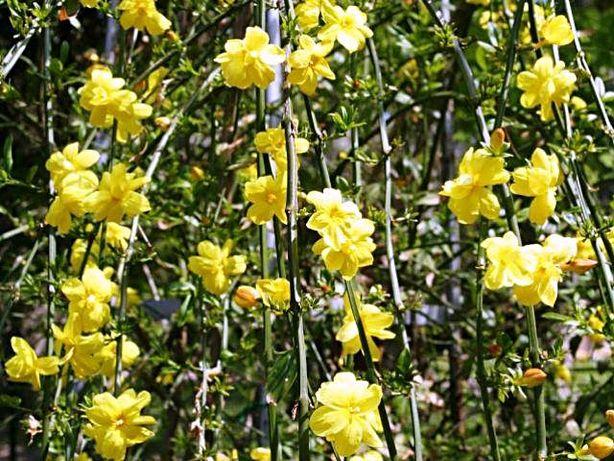 iasomie de iarna(jasminum nudiflorum)