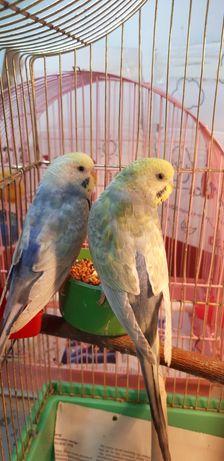 Выставочный радужный попугай