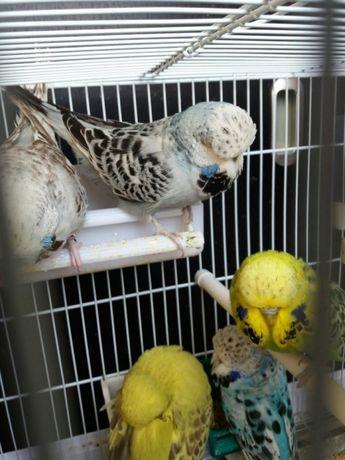 papagali perusi de vanzare pui standard vorbitori