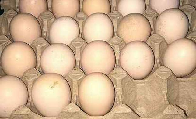 Инкубационое яйцо Брамма