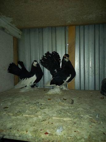 Продам голубей статных