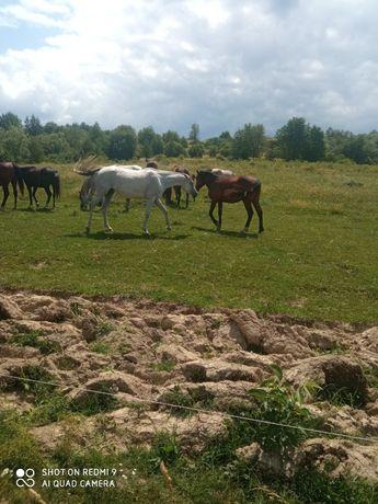 Cai pur sânge arab și cal de sport romanesc