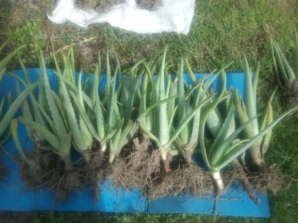 Aloe vera barbadensis miller puieti