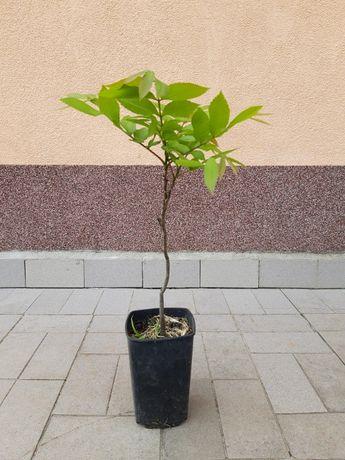 Vindem Nucul Pecan (Carya Illinoinensis) 30-50 cm