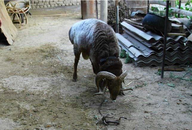 Продам барана на племя, крупный рогатый  , или обмен на бычок