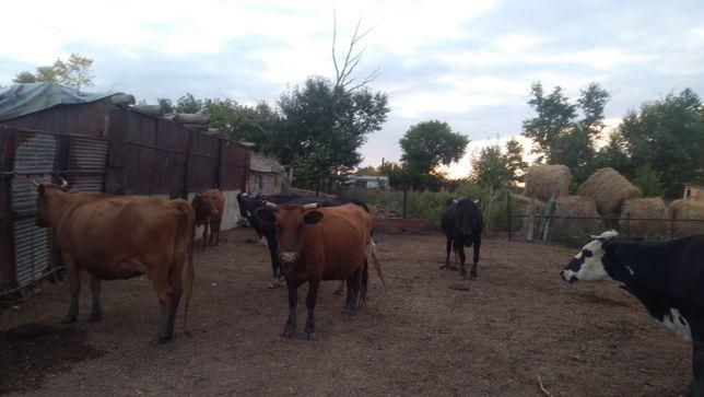 Продам 6 коров срочно коровы все хорошие.  Продаём в связи с переездом