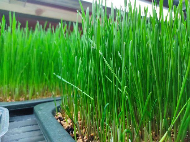 Витграсс молодые ростки пшеницы