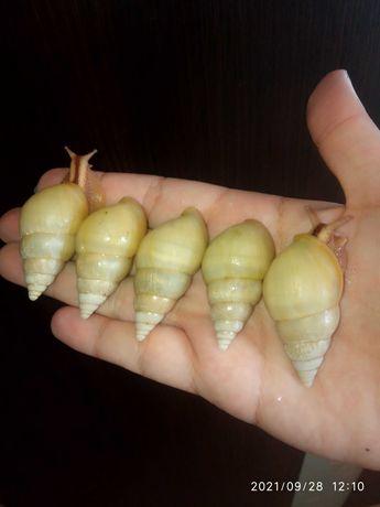 Лимиколярии униколор (ахатина, архахатина)