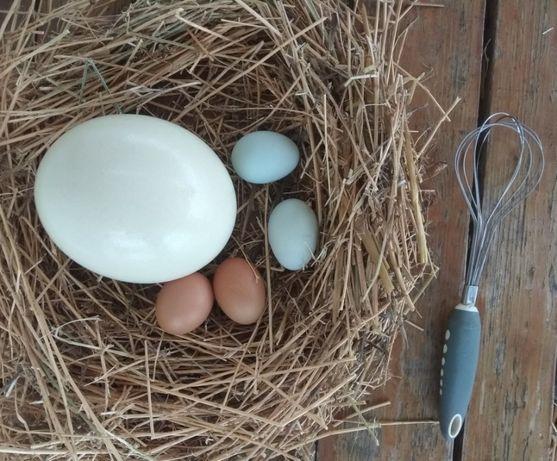 Щраус Яйца За Продажба