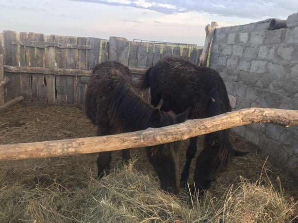 Продаю жеребят,мальчики,находится в село черное лебяженский район