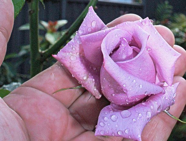 Trandafir Sisi