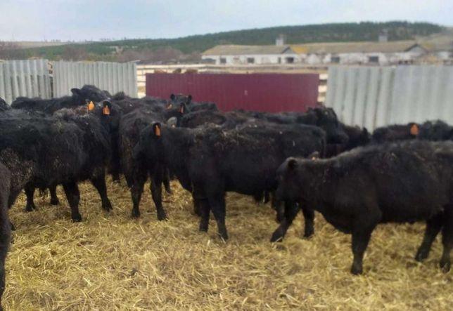 Продам телят быков коров Тёлки, бычки, Телята, Тйша, бұзау, бұқа.