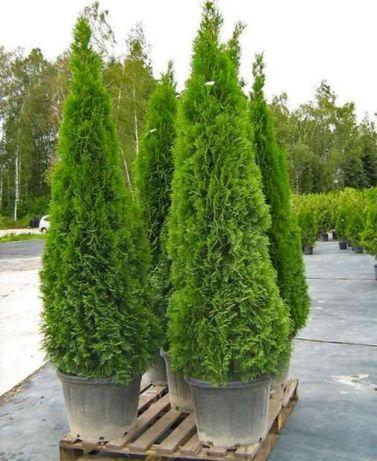 Tuia smaralgd/ tuia Leylandri gard viu/ tuia barband/tuia columnaris