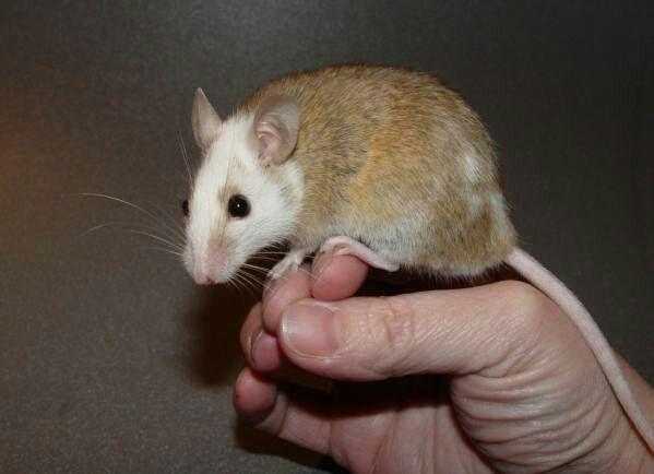 Мастомисы или многососковая крыса