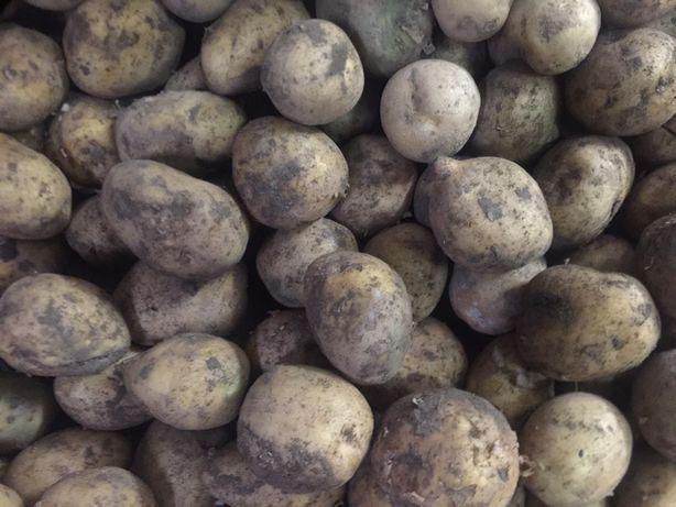 Картофель тендерный