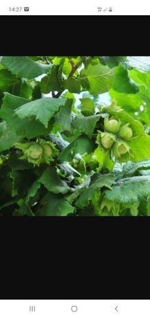 Pomi fructiferi aluni