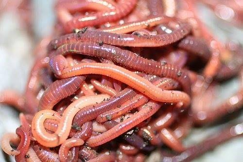 Червени калифорнийски червеи