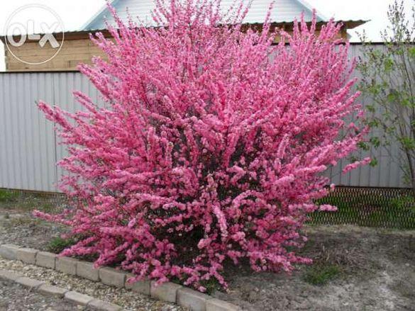 Японска Слива-(Prunus triloba)Промоция!!!