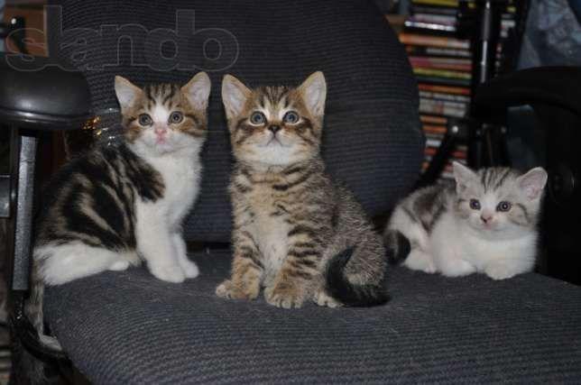 Вислоухие и прямоухие шотландские котята
