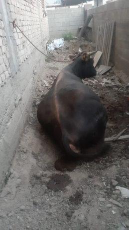 Корова сиыр В райымбеке