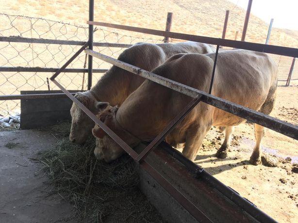 Племенной бык осеменатор