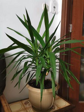 Vand plante Yuca si Dieffenbachia