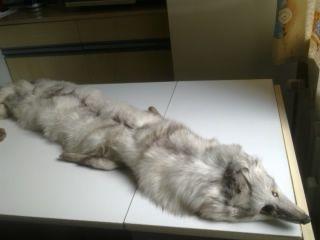 Продавам неизползвана шал яка от руска сребърна лисица
