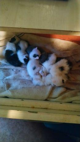 ofer spre  adoptie  7 pui pisica  rasa comuna