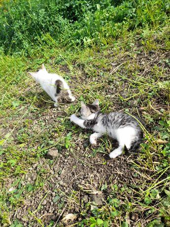 Donez  pisici mici