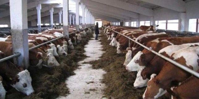 Продам Быков телят коровы бузау