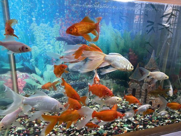 Золотые рыбки Карпы