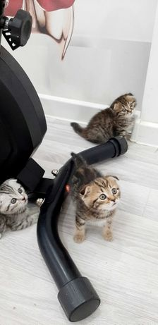 Продам шотландских Скоттиш Фолд котят