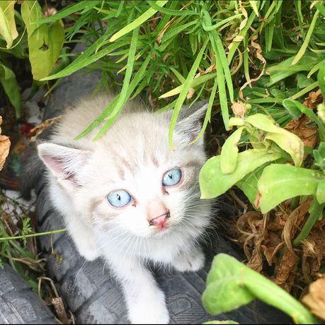 (Полу)Сиамские котята