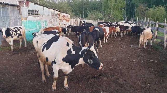 Продаются,коровы плем вместе с телятоми, Сыир садылады