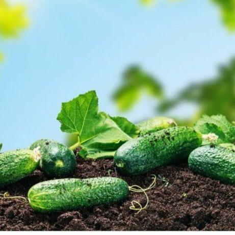 Огурцы для салатов самовывоз с поля 40 тенге без химикатов