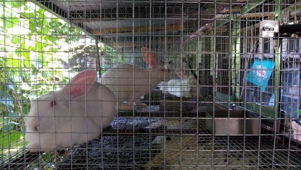 Зайци Новозеландски и Цика