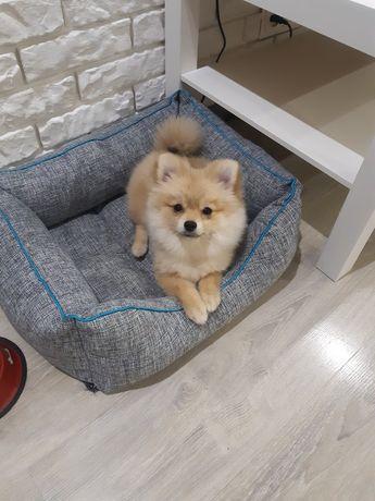 Продам собаку Шпица