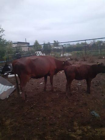 Продается корова с теленком