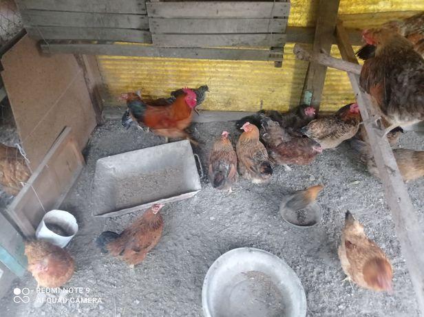 Продам кур, кучинской породы