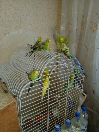 Продам попугаев, для разговорной речи. Волнистые. Возраст от 1- месяца
